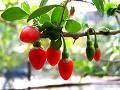 Зарабатываем на ягодах Годжи