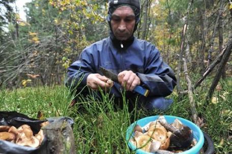 Сбор грибов, поставленный на рельсы бизнеса